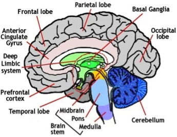 brain1