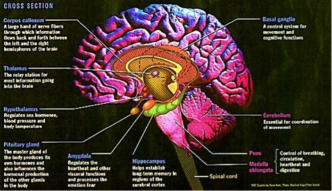 Limbic System and Other Subcortical Structures – Leaves out the Nucleus Accumbens (they would be approximately in front the hypothalamus in this drawing. The LImbic system is not to be confused with either Limbeck (an awesome band) or the Degobah System, where Yoda lives.
