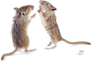 Wet Gerbils Everywhere Are High Fiving At Their Long Awaited Representation Aa An Agricultural College Mascot.